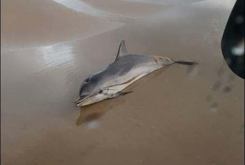עצוב: דולפין נמצא מת בחוף הקשתות