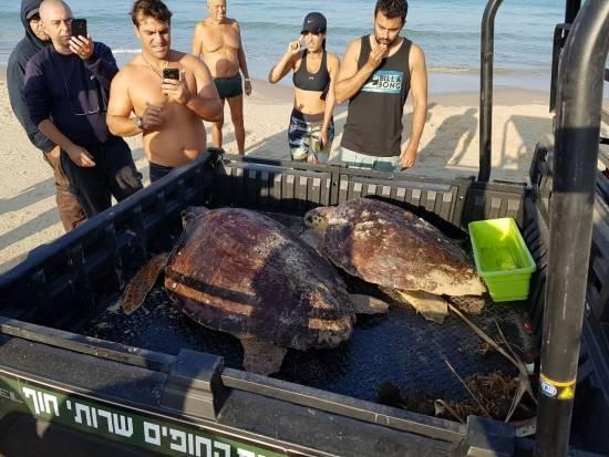 המצילים בחוף הצילו פעם נוספת צב ים תשוש