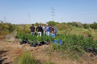 תפיסת ענק של המשטרה: מאות שתילי מריחואנה נמצאו באשדוד
